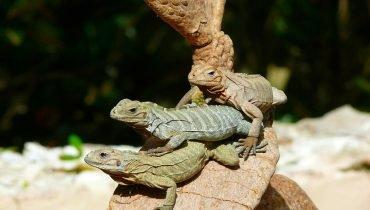 Lizards Enjoy the Dominican Sun