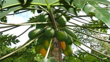 Tropische Papayas