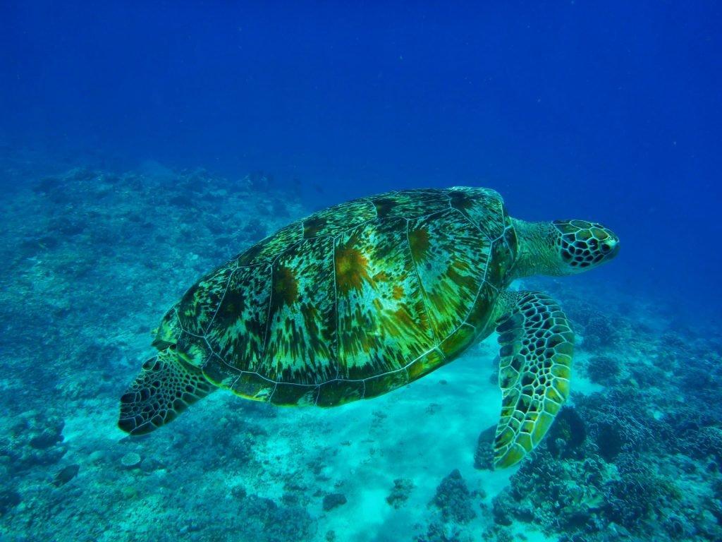 Auf Tuchfühlung mit Meeresschildkröten