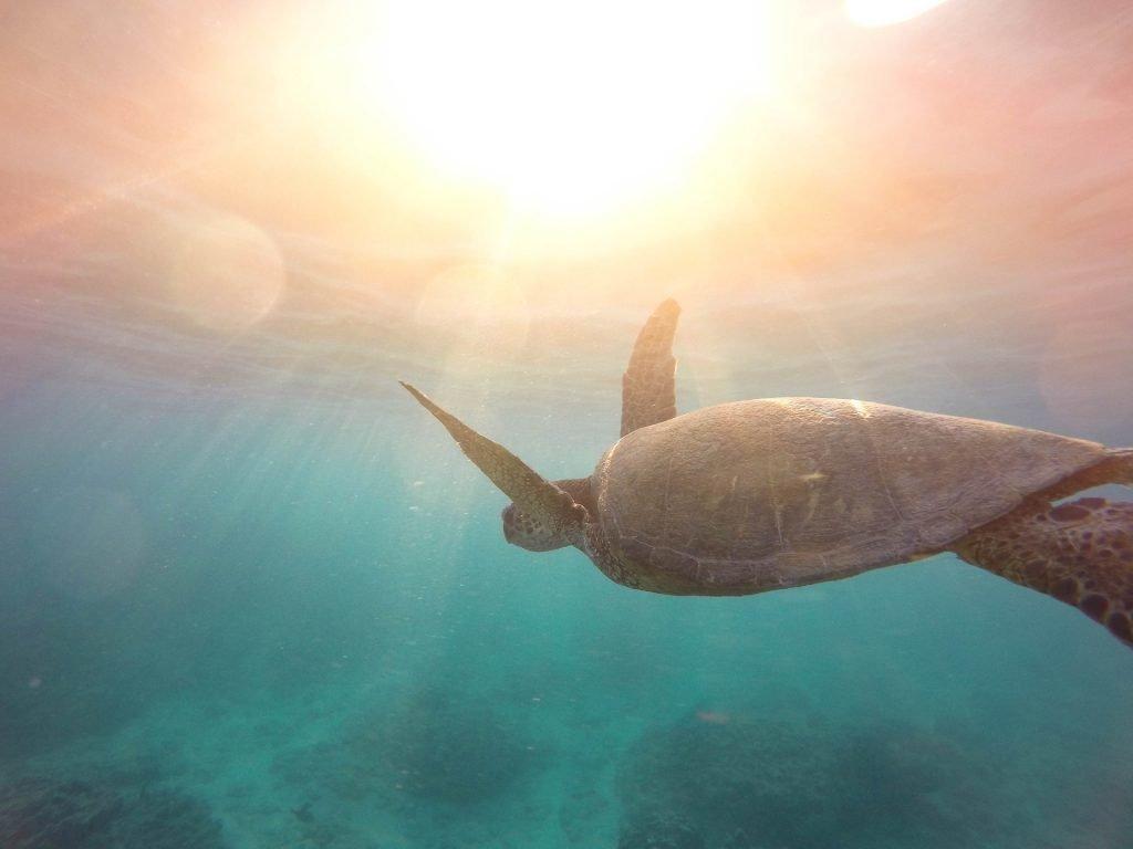 Schildkröte schwebt durchs Wasser