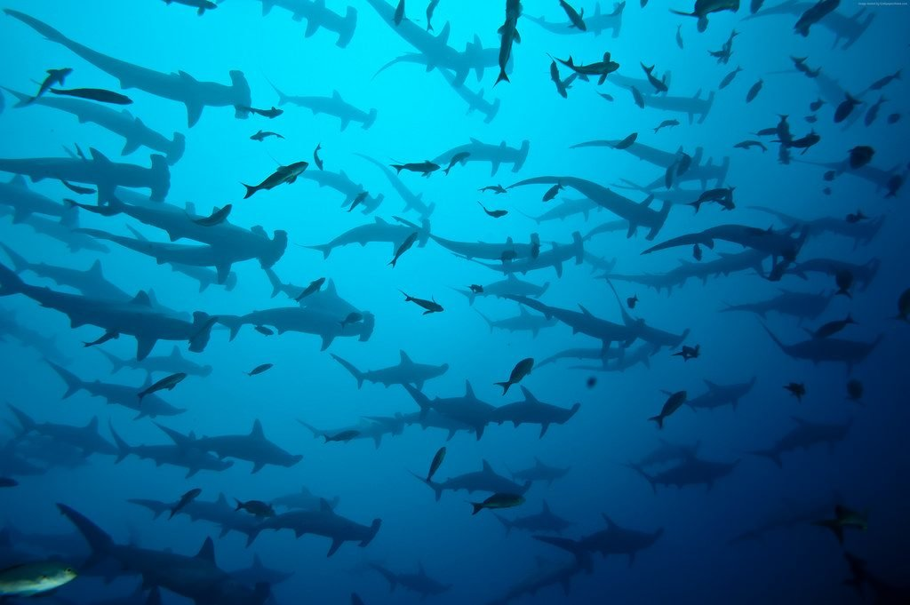 Diving in a Hammerhead Swarm on Cocos Island