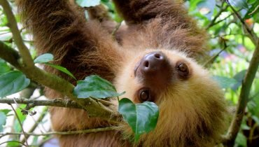 Sloth enjoys wet Conditions